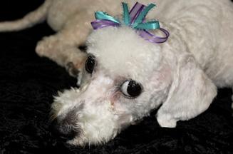 dog-with-ribbon